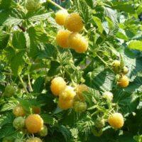 Купить саженцы малины Желтый гигант