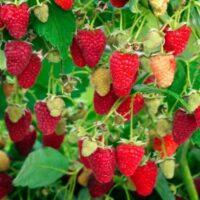 Купить саженцы малины Рубиновое ожерелье