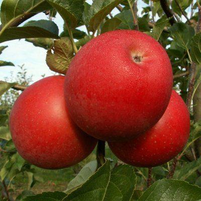 Купить саженцы яблони Богемия