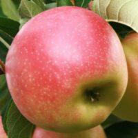 Купить Саженцы яблони Канзи (Kanzi)