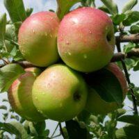 Купить Саженцы яблони Союз