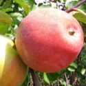 Яблоня Цвет Каролины
