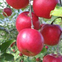 Купить саженцы яблони Афродита