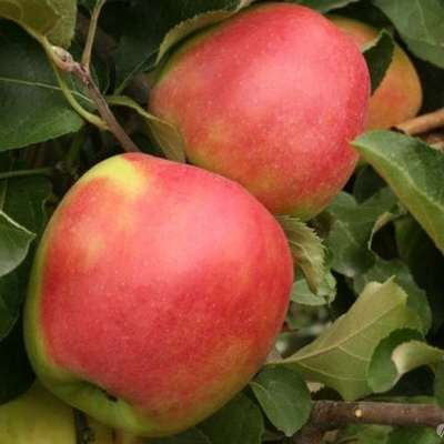 Купить саженцы яблони Лигол
