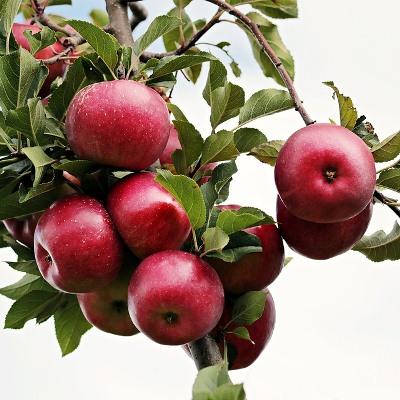 Купить саженцы яблони Пирос (Piros)