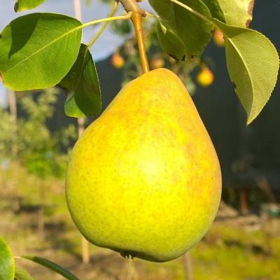 Купить саженцы груши Лимонка