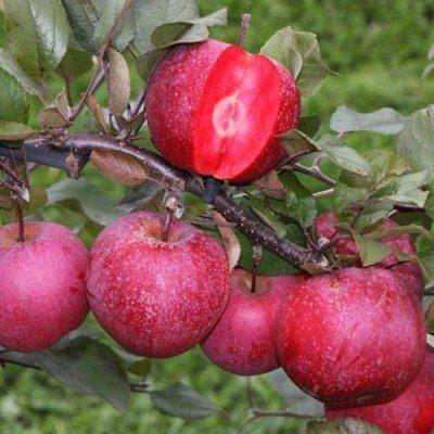 Купить яблоню Яблоня Bаyа® Mаrisа
