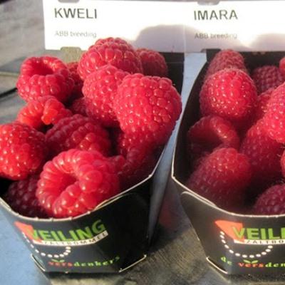 Купить Саженцы малины Квели (Kweli)