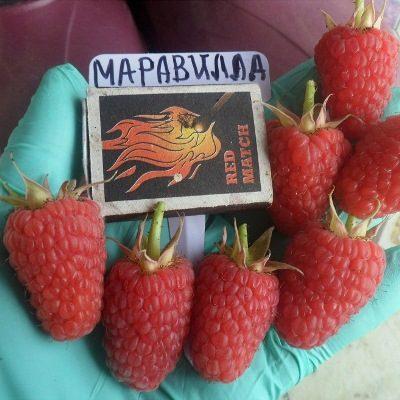 Купить Малина Маравилла (Maravilla)