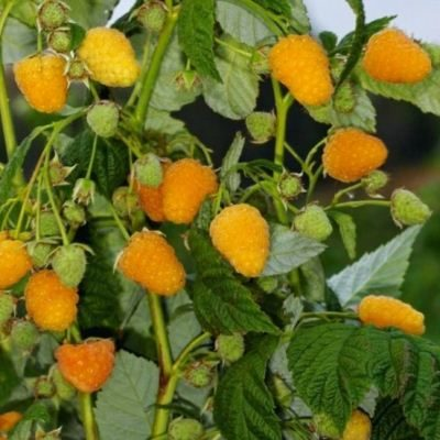 Купить малину Золотая осень