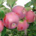 Яблоня Деличия (Delicia)