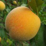 Персик Приморский жёлтый