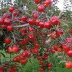Набор: Яблоня Моди (1 шт.) + Груша Бере Боск (1 шт.)