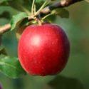 Яблоня Моди (Modi)