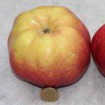 Яблоня Jumbo Pomme