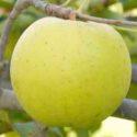 Яблоня Gold Rush (Голд раш)