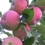 Яблоня Mantet (Мантет)