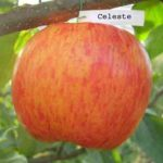 Яблоня Celeste (Целеста)